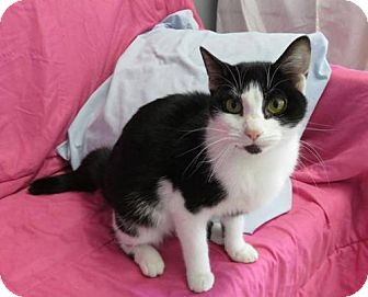 Domestic Shorthair Cat for adoption in Asheville, North Carolina - Sunshine-Rutherford