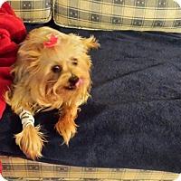 Adopt A Pet :: Kelsie - Lorain, OH