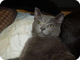 Domestic Shorthair Cat for adoption in Medina, Ohio - Marlon