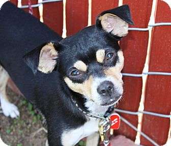 Miniature Pinscher/Italian Greyhound Mix Dog for adoption in Bellflower, California - Betsy