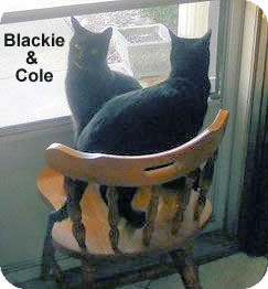 Bombay Cat for adoption in Olmsted Falls, Ohio - Blackie-COURTESY POST