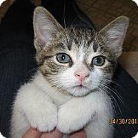 Adopt A Pet :: Captain - Sterling Hgts, MI