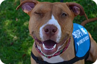 American Pit Bull Terrier/Jack Russell Terrier Mix Dog for adoption in Hawthorne, California - Hope
