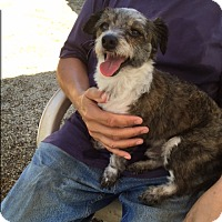 Yorkie, Yorkshire Terrier/Jack Russell Terrier Mix Dog for adoption in Smithtown, New York - Wizard :-)