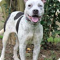 Australian Cattle Dog/Blue Heeler Mix Dog for adoption in Starkville, Mississippi - Bonnie Blue