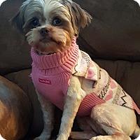 Adopt A Pet :: Taylor-Adoption pending - Bridgeton, MO