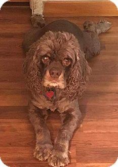 Cocker Spaniel Mix Dog for adoption in Ogden, Utah - Samson