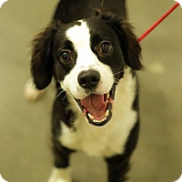 Adopt A Pet :: DANIEL THE SPANIEL - San Pedro, CA