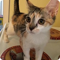 Calico Kitten for adoption in Old Bridge, New Jersey - Nika