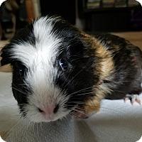 Adopt A Pet :: Lucy - Harleysville, PA
