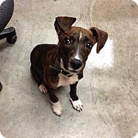 Adopt A Pet :: Valentino - Larned, KS