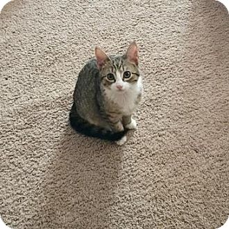 Domestic Shorthair Kitten for adoption in Westampton, New Jersey - Dickory 34349136