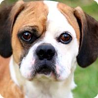 Adopt A Pet :: CHIBBS(ADORABLE LITTLE