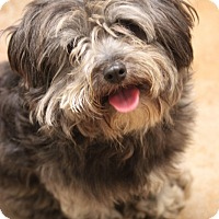 Schnauzer (Miniature)/Poodle (Miniature) Mix Dog for adoption in Hooksett, New Hampshire - Hopper- ADOPTED!