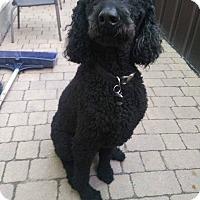 Adopt A Pet :: Charlot - Vaudreuil-Dorion, QC