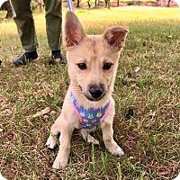 Adopt A Pet :: Jin - Litchfield Park, AZ