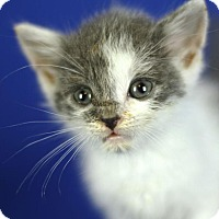 Adopt A Pet :: Chase - Winston-Salem, NC