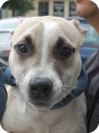 American Pit Bull Terrier Mix Dog for adoption in Brooklyn, New York - Dahlia