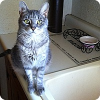 Abyssinian Cat for adoption in Elyria, Ohio - Turbo