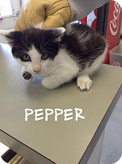 Domestic Shorthair Kitten for adoption in Dillon, South Carolina - Pepper