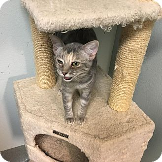 Domestic Shorthair Kitten for adoption in Westminster, California - Candy