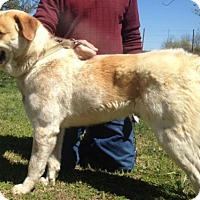 Great Pyrenees/Australian Cattle Dog Mix Dog for adoption in Dale, Indiana - Buddy Hargrave
