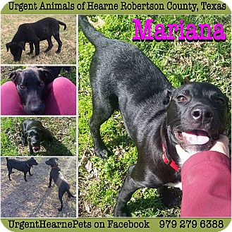 Labrador Retriever Mix Puppy for adoption in Hearne, Texas - Mariana