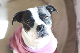 Boston Terrier/American Staffordshire Terrier Mix Dog for adoption in Greeley, Colorado - Bella Rousse
