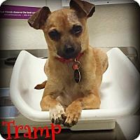 Adopt A Pet :: TRAMP - Phoenix, AZ
