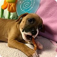 Adopt A Pet :: Guiness - Atlanta, GA