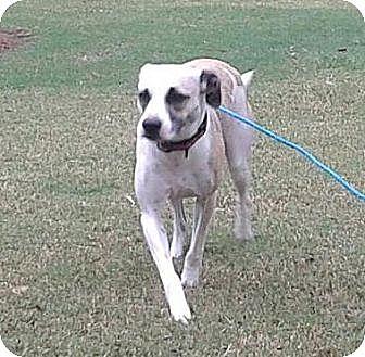 Boxer/Labrador Retriever Mix Dog for adoption in Hayden, Alabama - Angel B