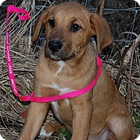 Adopt A Pet :: Toffee - Nashville, TN