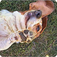 Adopt A Pet :: Beuford - Phoenix, AZ