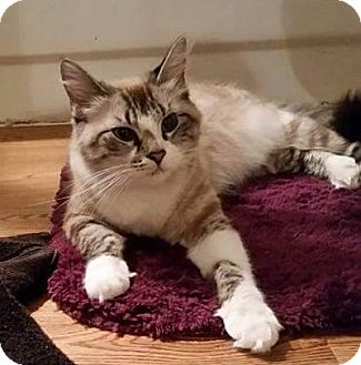 Ragdoll Cat for adoption in Fort Worth, Texas - Gracie