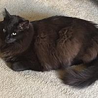 Maine Coon Cat for adoption in El Dorado Hills, California - Alvin