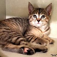 Adopt A Pet :: Iris - Key Largo, FL