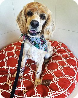 Cocker Spaniel Dog for adoption in Orange, California - Meadow