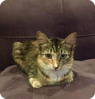 Domestic Mediumhair Kitten for adoption in Bulverde, Texas - Roxy 2