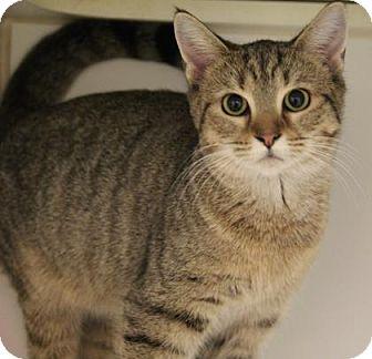 Domestic Shorthair Cat for adoption in Greensboro, North Carolina - Victoria