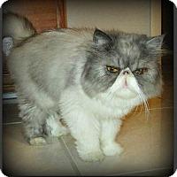 Adopt A Pet :: Itty Bit - Gilbert, AZ