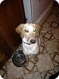Hound (Unknown Type)/Spaniel (Unknown Type) Mix Dog for adoption in waterbury, Connecticut - Freckles