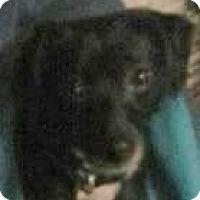 Adopt A Pet :: Midnight Star - Lexington, KY