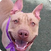 Adopt A Pet :: JORDAN - Las Vegas, NV