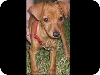 Miniature Pinscher Puppy for adoption in Phoenix, Arizona - Sawyer