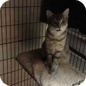 Domestic Shorthair Cat for adoption in bloomfield, New Jersey - Sheldon