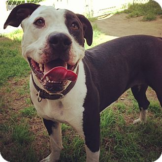 Pit Bull Terrier Mix Dog for adoption in San Diego, California - Dottie URGENT