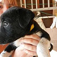 Adopt A Pet :: Leia - South Jersey, NJ