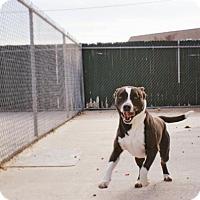 American Bulldog/Labrador Retriever Mix Dog for adoption in Manteo, North Carolina - Skipper