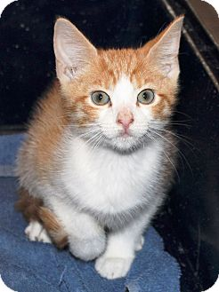 Domestic Shorthair Kitten for adoption in Prospect, Connecticut - Fred