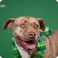 Adopt A Pet :: SYRAH - Santa Fe, NM